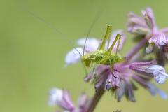 Gräshoppa på en filial med en blommabokeh Arkivfoton