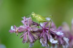 Gräshoppa på en filial med en blommabokeh Royaltyfri Fotografi