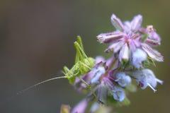 Gräshoppa på en filial med en blommabokeh Moget frö av granatäpplet Royaltyfri Foto