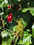 Gräshoppa på en grön buske royaltyfri foto