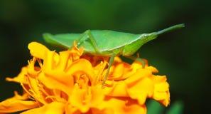 Gräshoppa på en härlig blomma Arkivbild