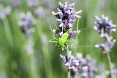 Gräshoppa på en lavendel Arkivfoto