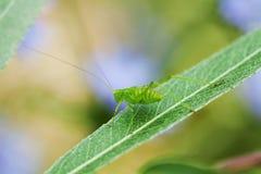 Gräshoppa på en leaf Arkivbilder