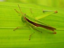 Gräshoppa på en leaf Royaltyfri Fotografi