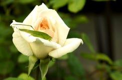 Gräshoppa på en ros Royaltyfri Fotografi