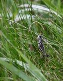 Gräshoppa på en stem Royaltyfri Bild