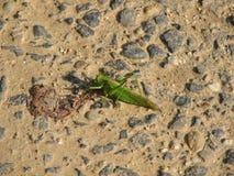 Gräshoppa på en väg Royaltyfria Bilder