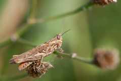 Gräshoppa på en växt Royaltyfri Bild