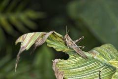Gräshoppa på ett blad Fotografering för Bildbyråer