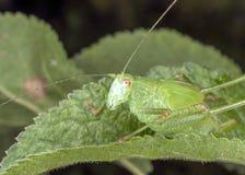 Gräshoppa på ett blad Royaltyfria Bilder