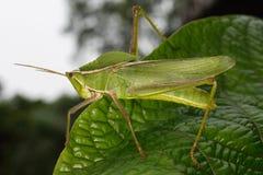 Gräshoppa på ett blad Arkivfoto