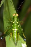 Gräshoppa på ett blad Arkivbilder