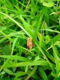 Gräshoppa på ett gräs Royaltyfri Foto