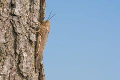 Gräshoppa på ett träd Royaltyfri Bild