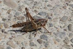 Gräshoppa på gatan Arkivbild