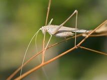 Gräshoppa på gräs Arkivfoton