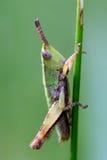 Gräshoppa på gräs Royaltyfria Foton
