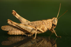 Gräshoppa på grön bakgrund Royaltyfri Fotografi