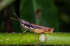 Gräshoppa på grönt gräs arkivbild
