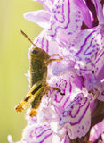 Gräshoppa på lös orkidé Arkivfoto