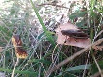 Gräshoppa på leafen royaltyfria foton