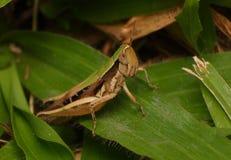 Gräshoppa på leafen Arkivbild