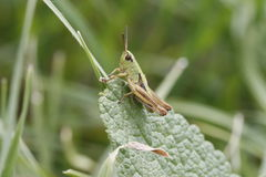 Gräshoppa på leafen Royaltyfria Bilder