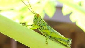 Gräshoppa på leafen stock video
