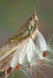 Gräshoppa på milkweed Fotografering för Bildbyråer
