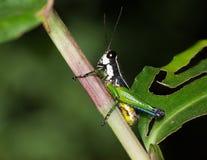 Gräshoppa på stammen Royaltyfria Foton