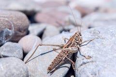 Gräshoppa på stenarna Arkivfoto