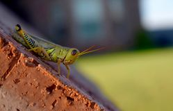 Gräshoppa på tegelsten Royaltyfri Foto