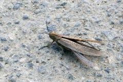 Gräshoppa på vägen Royaltyfri Bild