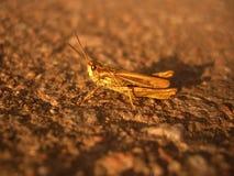 Gräshoppa på vägen Arkivbild