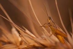 Gräshoppa på vete arkivbild