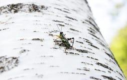 Gräshoppa Podisma (under) Alpina Arkivfoton