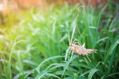 Gräshoppa som är handgjord på gräs Arkivbilder