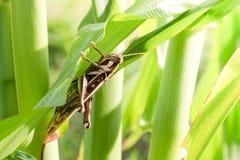 Gräshoppa som äter havre royaltyfri fotografi