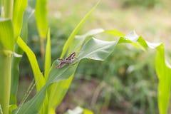 Gräshoppa som äter havre Arkivfoto