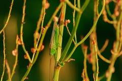 Gräshoppa som kamoufleras i gräs med färgrika sidor royaltyfri foto