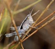 Gräshoppa som klättrar en stam av en växt arkivfoton