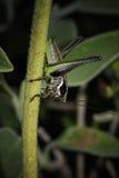 Gräshoppa som klamra sig fast intill materielet Royaltyfria Bilder