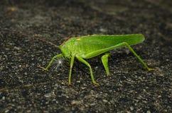 Gräshoppa som lägger ägg Arkivfoton