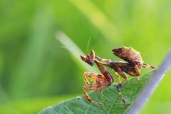 Gräshoppa som perching på en leaf Arkivfoto