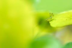 Gräshoppa som perching på en leaf royaltyfri fotografi