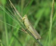 Gräshoppa som sätta sig på grönt gräs arkivfoto