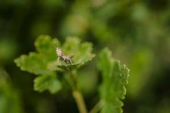 Gräshoppa som sitter på den gröna krusbärbusken royaltyfri fotografi