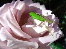 Gräshoppa som sitter på rosen, närbild arkivbild