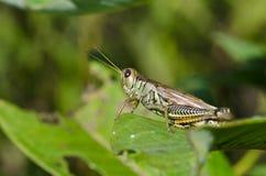 Gräshoppa som vilar på den gröna leafen Arkivbilder