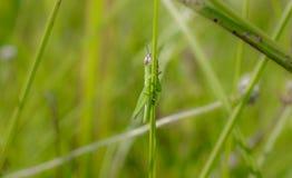 Gräshoppa ut på en lem Royaltyfri Fotografi
